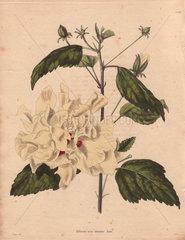 Hibiscus rosa-sinensis lutea Yellow hibiscus
