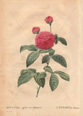 Child of France rose (Rosa gallica agatha var. delphiniana)  with a large scarlet rose in bloom and two buds ascending.