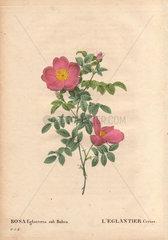 Cherry briar rose with small dusty pink and yellow roses (Rosa eglanteria sub rubra). LuefEglantier Cerise.