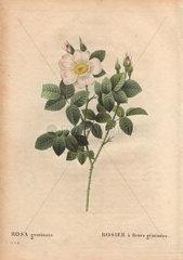 Twin-flowered white rose (Rosa geminata). Rosier a' fleurs geueLmineueLes.