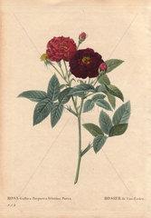 Van Eeden's rose with dark purple and crimson flowers.