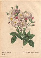 Impressive bouquet of Blush Noisette roses  fluffy white and pink roses in bloom (Rosa noisettiana).