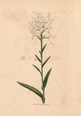 Habenaria blephariglottis White fringed orchid