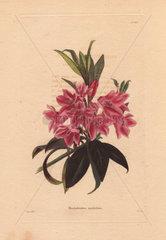 Rhododendron myrtifolium Pink rhododendron