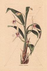 Cymbidium lancifolium White bamboo-leaf orchid