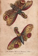 Lanthorn fly or Lantern fly in its luminous state Fulgora lanternaria