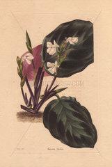 Maranta bicolor Prayer plant