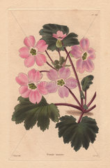 Primula sinensis Pink Chinese primrose