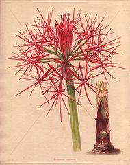 Haemanthus multiflorus African blood lily