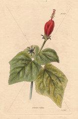 Achania mollis or Malvaviscus arboreus Turk's cap