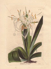 Pancratium declinatum White false spiderlily