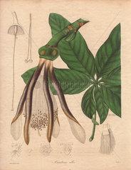 Carolinea alba White carolinea tree