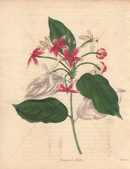 Quisqualis indica Chinese honeysuckle