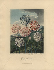 Group of Carnations from Thornton's Temple of Flora