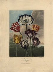 Tulip varieties from Thornton's The Temple of Flora
