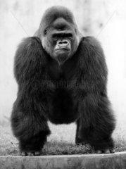 Gorilla auf allen Vieren