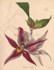 Maxillaria cristata Paphinia cristata