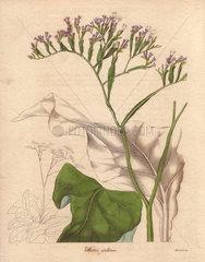 Statice arborea Arboreus statice with white flowers