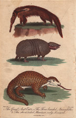 Great anteater  three-banded armadillo and short-tailed manis Cyclopes didactylus  Tolypeutes matacus  Manis pentadactyla