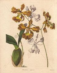 Oncidium crispum Oncidium orchid