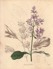 Syringa josikaea Hungarian Lilac