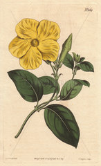 Larger savanna flower with vivid yellow flower  a native of the savannas of Jamaica and St. Domingo. Echites suberecta
