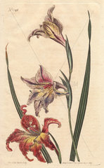 Large-flowered corn-flag or large brown afrikaner  with mottled flowers in scarlet and pale pink  native to South Africa. Gladiolus liliaceus (Gladiolus versicolor)