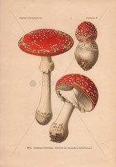 Poisonous mushroom Amanita muscaria  scarlet top with white flecks.