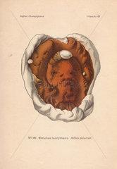 Dry rot fungus Merulius lacrymans.