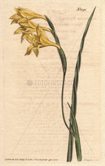 Yellow-flowered  square-leaved cornflag from the Cape of Good Hope Gladiolus tristis