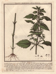 Stinging nettle (Urtica arvens)  with roots and stem at left  top half of plant with spiky leaves at right.