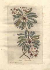 Sensible wood sorrel (Oxalis sensitiva)