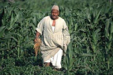 Mann arbeitet im Maisfeld