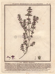 Basil thyme or wild basil (Acinos arvensis) Thymus acinos