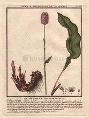 Bistort (Persicaria bistorta)  with root structure La renouee bistorte (Polygonum bistorta)