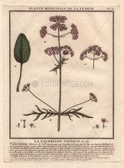 Valerian (Valeriana officinalis).