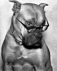 Boxer mit Brille