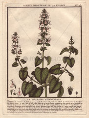 Nepeta cataria ( catnip   catswort or catmint ) is mostly used as a recreational substance for feline enjoyment.