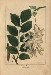 Yellow wood  Virgilia lutea