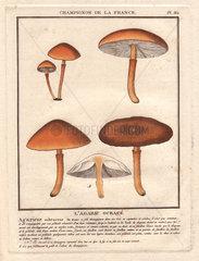 Agaric mushroom Agaricus ochraceus