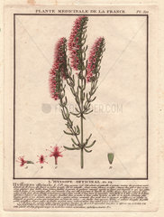Herb Hyssop (Hyssopus officinalis) is an antiseptic  cough reliever  and expectorant  and commonly used as an aromatic herb and medicinal plant.