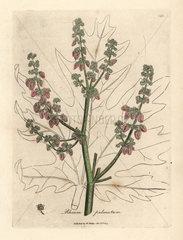 Rubarb flowers and stalk  leaf outline  Rheum palmatum