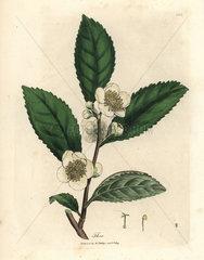 White flowers and green tea leaves  Thea bohea  Camellia sinensis