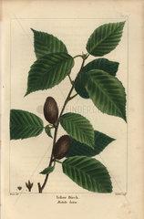 Yellow birch  Betula lutea