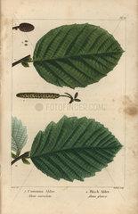 Common alder tree  Alnus surrulata  and black alder  Alnus glauca