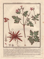 Herb Robert (Geranium robertianum).