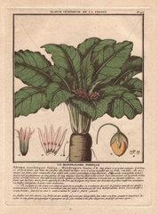 Female mandrake plant (Atropa mandragora or Mandragora officinarum).