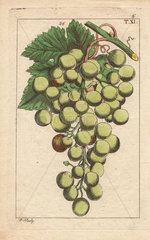 Bunch of muscat grapes  Vinis vitifera