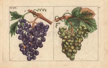 Chiavenna grapes  Vitis vinifera