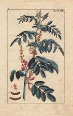 Pink-flowered true indigo plant  Indigofera tinctoria
